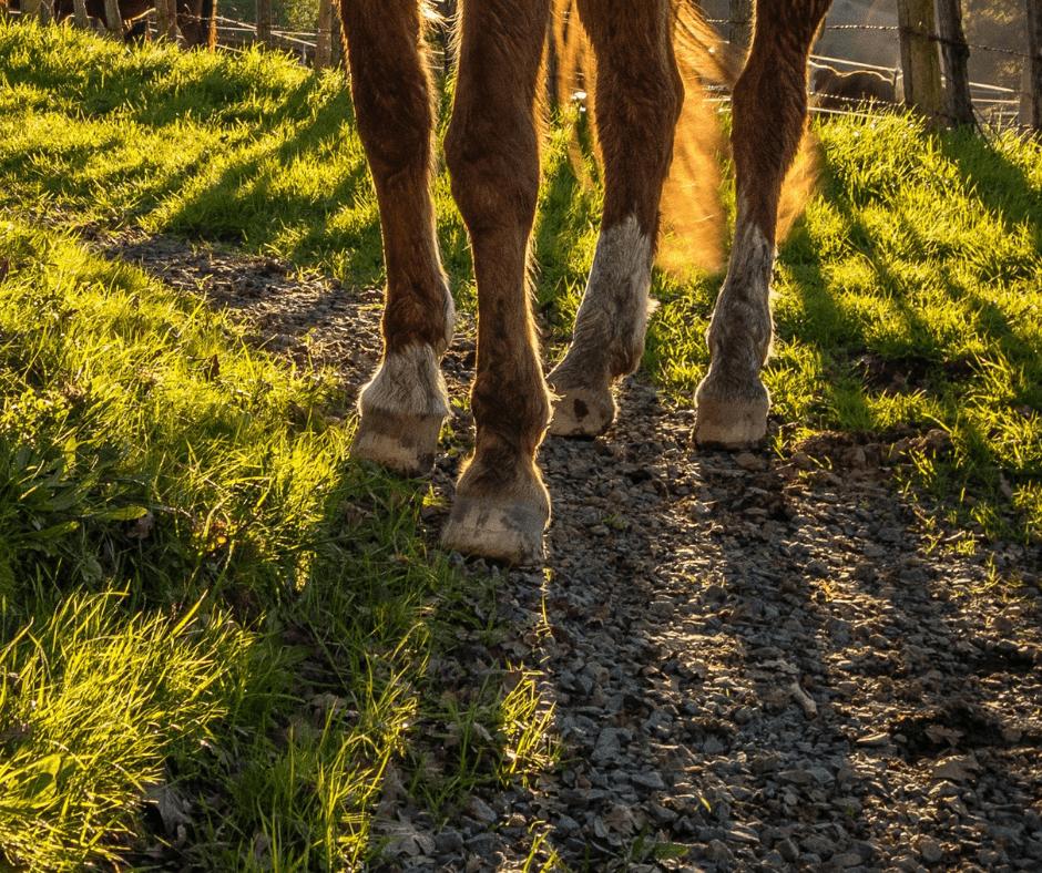 le gale de boue cheval